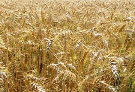 Parabole de la mauvaise herbe (ou ivraie) et de la bonne semence
